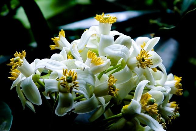 hoa buoi 1.jpg