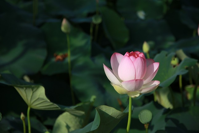 lotus-4312141_1280.jpg