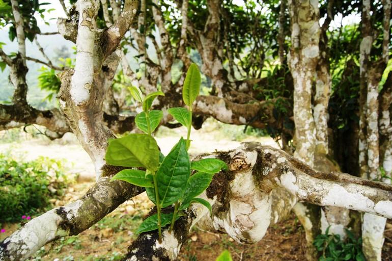 Cây chè cổ thụ Suối Giàng - Ảnh: Nguyễn Ngọc Tuấn