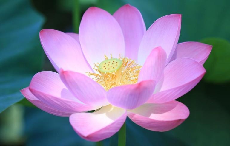 Thanh lọc thân tâm trong sạch như hoa sen