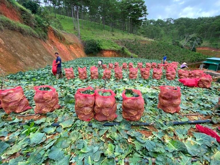 Những cánh đồng rau được chuẩn bị chuyển đến với vùng dịch bệnh TP.HCM