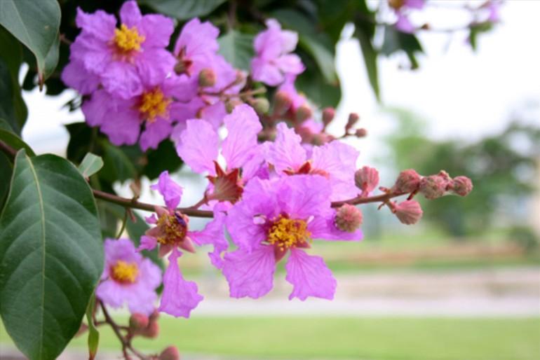 Sắc tím hoa bằng lăng làm xao xuyến lòng người - Ảnh: Hoàng Cường