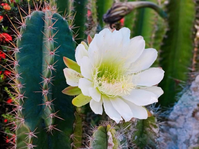 Hoa nọc trụ (thuộc họ với xương rồng)