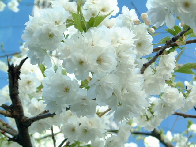 Sắc trắng mùa Xuân
